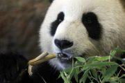 В Китае используют технологию распознавания лиц для идентификации панд